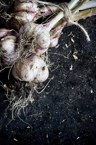 Bunch Of Organic Homegrown Pink Garlic Stock Photo - Download Image Now
