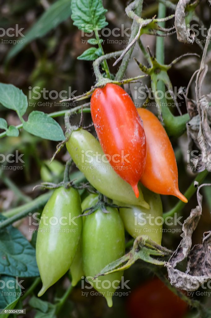 bunch of organic san marzano tomatoes on the plant stock photo