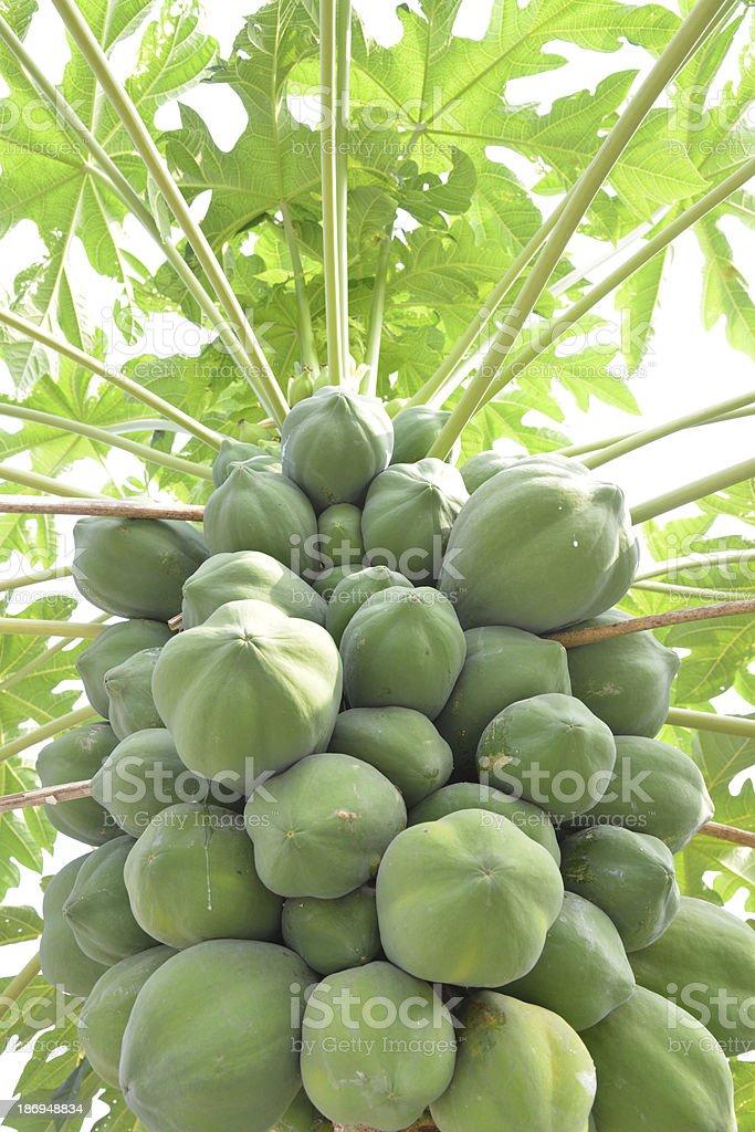 Bunch of papayas on tree royalty-free stock photo