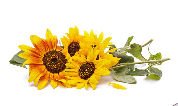Bunch of Perfect Sunflowers stock photo
