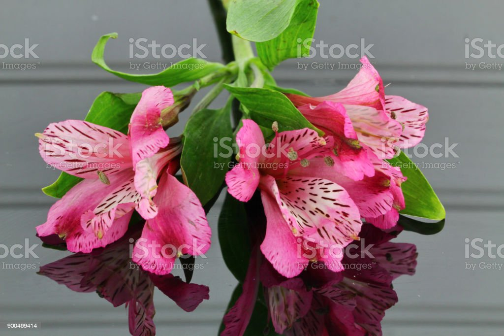 A bunch of pink Alstroemeria stock photo