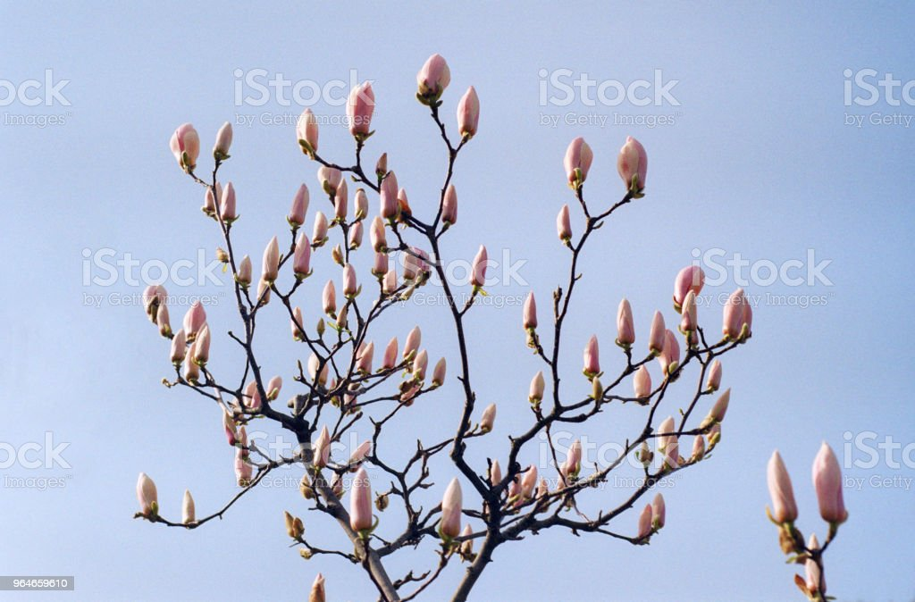 Bunch of pink magnolia buds on branch. Shot on film royalty-free stock photo