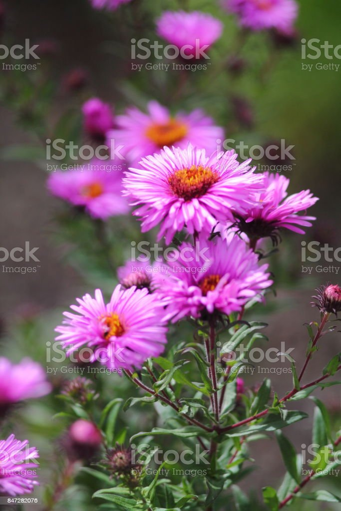Rosenstrauss rosa Reis-Taste Asterflowers. – Foto