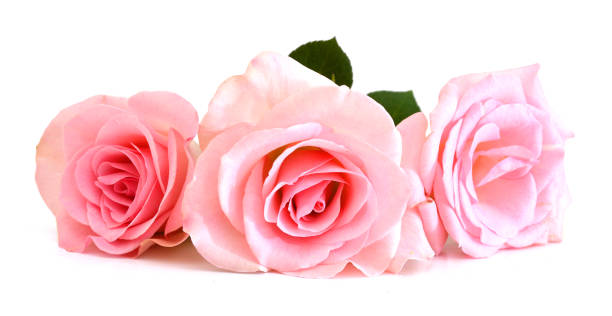 Bunch of pink roses isolated on white picture id1168634887?b=1&k=6&m=1168634887&s=612x612&w=0&h=pkbywoognetaw5uulusflyboxlnuxh qrq2elm8b0go=