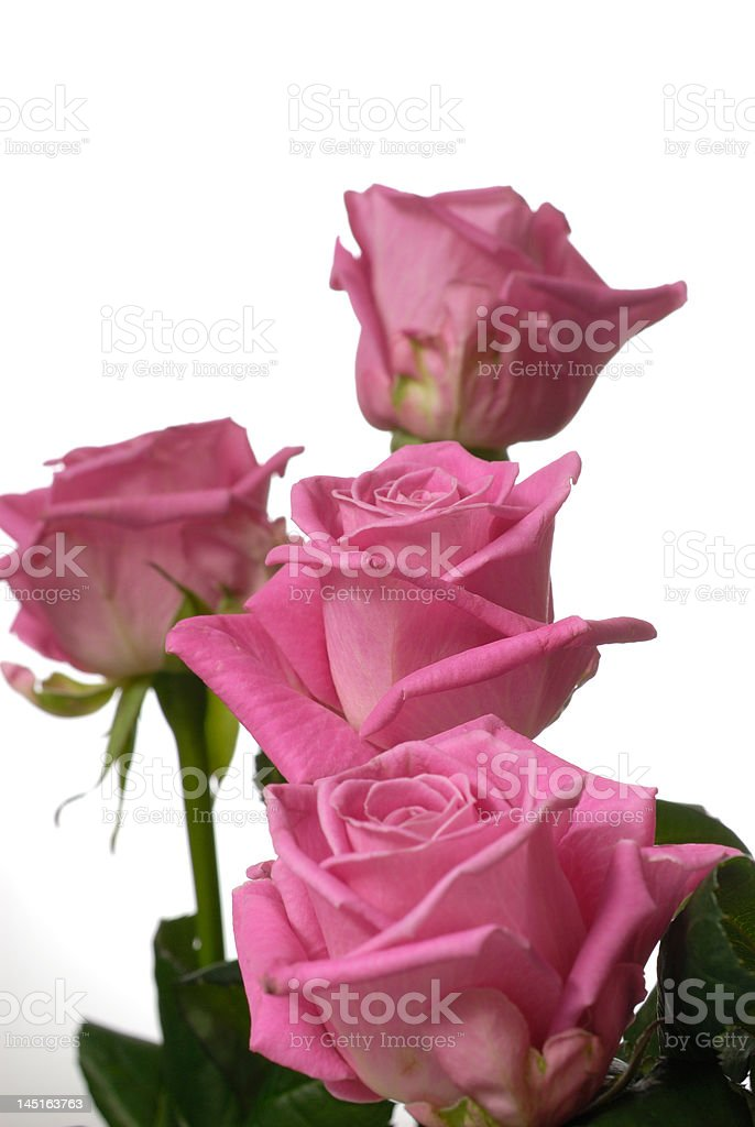 Bunch of pink roses. stock photo