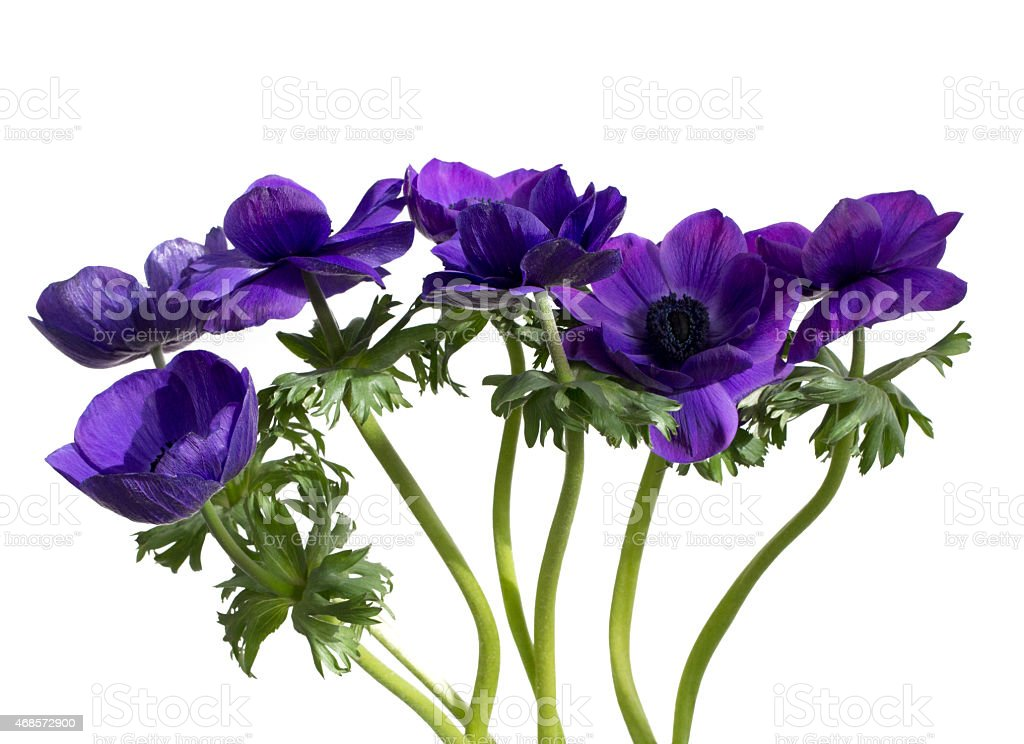Bunch of purple anemones, isolated on white background stock photo