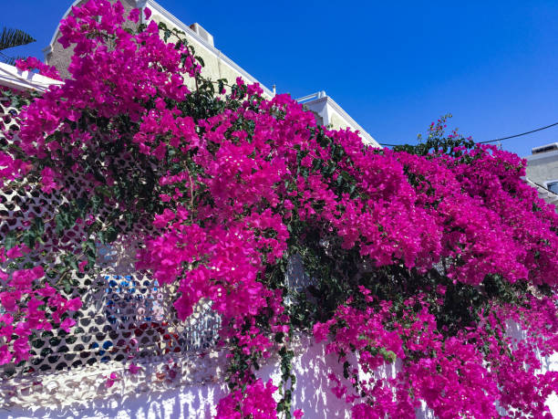 Bunch of purple bougainvillea flowers. stock photo