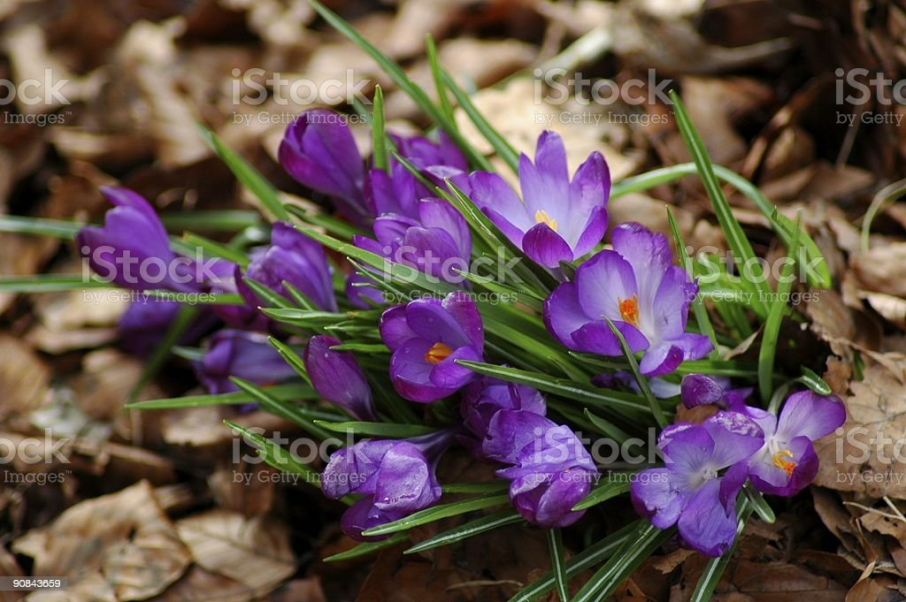 Bunch of purple crocus flowers in Forest royalty-free stock photo