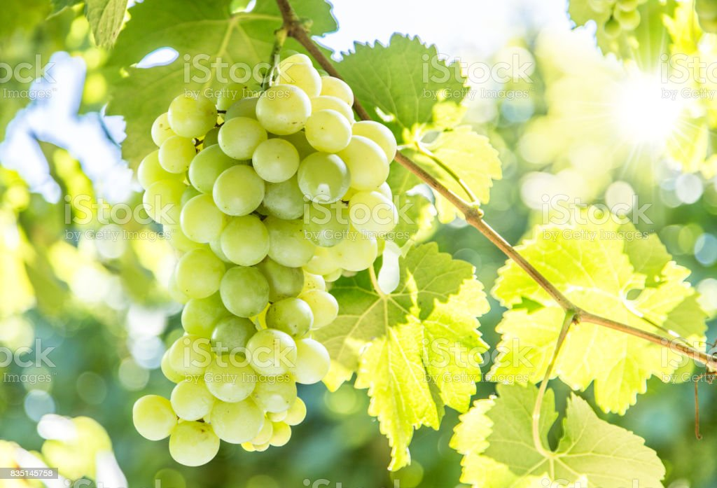 Bunch of purple grapes on the white background. stock photo