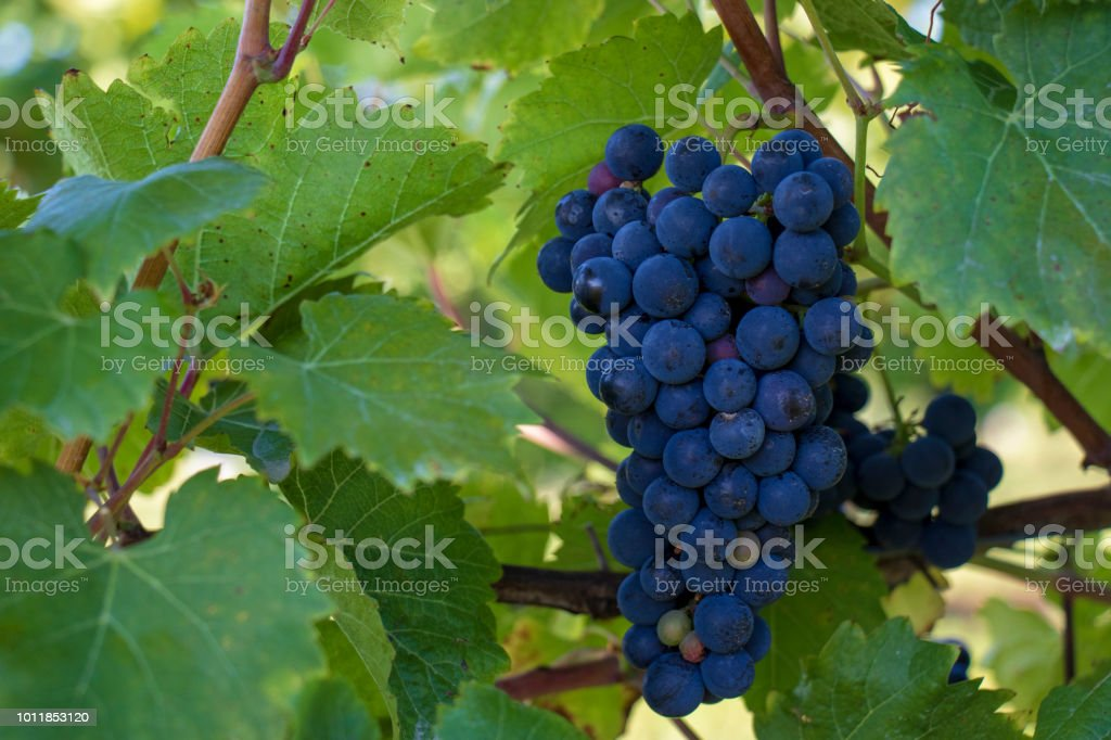 A bunch of purple grapes ready for harvest. stock photo