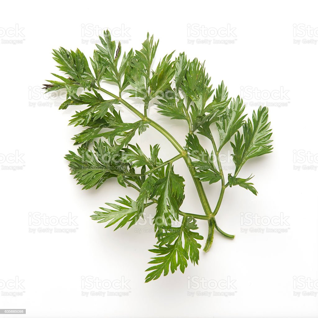 bunch of raw fresh carrot leaves stock photo