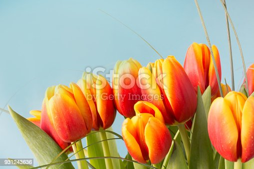 Bunch of red and yellow tulip flowers on blue background. Close up.