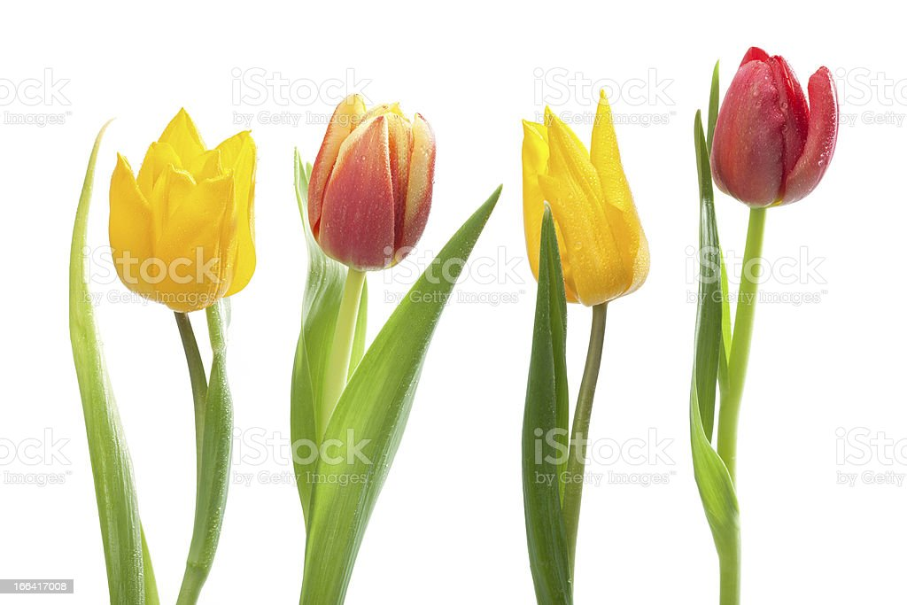 Bunch of Red and Yellow Tulips royalty-free stock photo