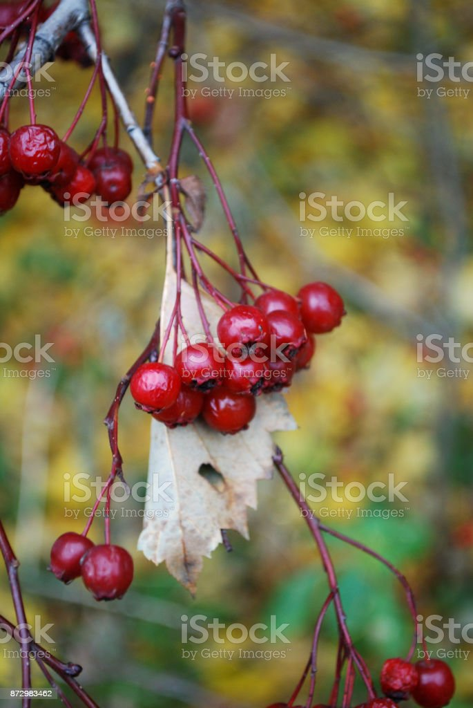 Bunch of red berries on a stem on blurred background macro view. stock photo