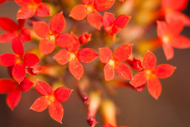 Bunch of red flowers picture id1145496475?b=1&k=6&m=1145496475&s=612x612&w=0&h=7jpfnlamnl545rwjlvpgoqxl68t13nscclgx56f673o=