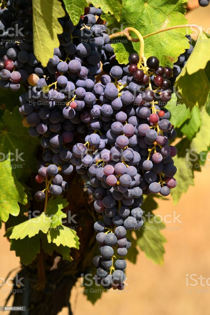 Bunch of red grapes in a vineyard. Tuscany region, summer season, Italy. stock photo