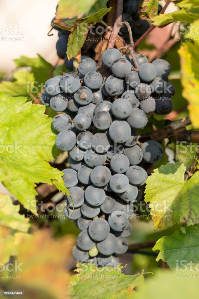 bunch of red grapes on the vine with green leaves royalty-free stock photo