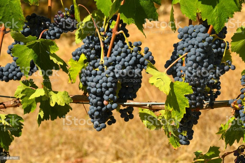 Bunch of red grapes on vineyard stock photo