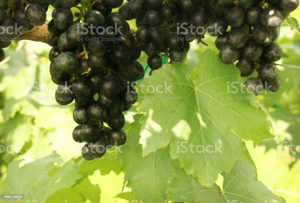 Massa röda druvor med gröna blad hängande i vingården. - Royaltyfri Banta Bildbanksbilder