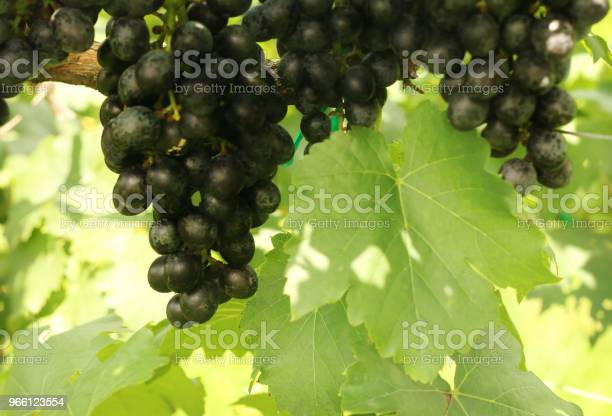 Bunch Of Red Grapes With Green Leaves Hanging In The Vineyard Stock Photo - Download Image Now