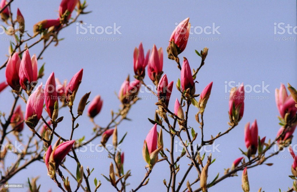 Bunch of red magnolia buds on branch. Shot on film royalty-free stock photo