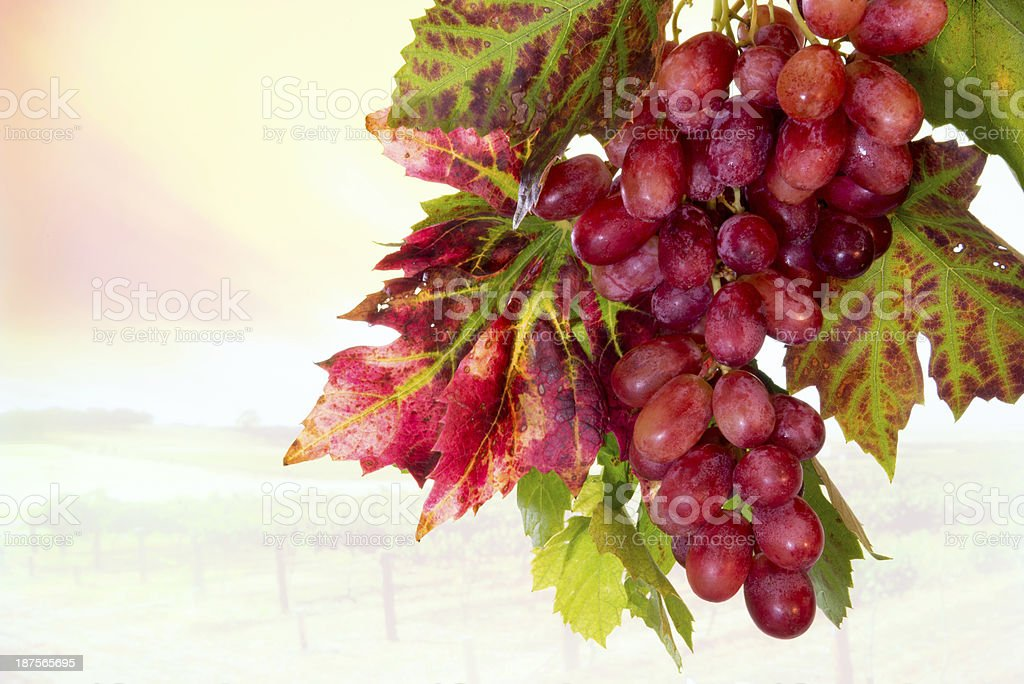 Bunch of red purple grapes leaves against feint vinyard background royalty-free stock photo