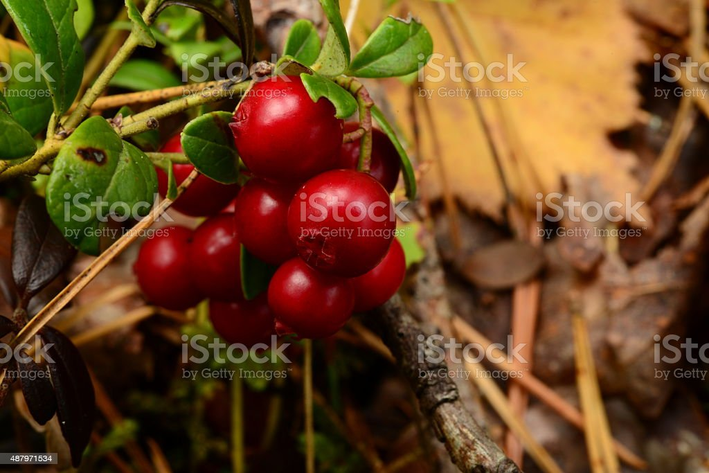 Bunch of red ripe cranberries berries stock photo
