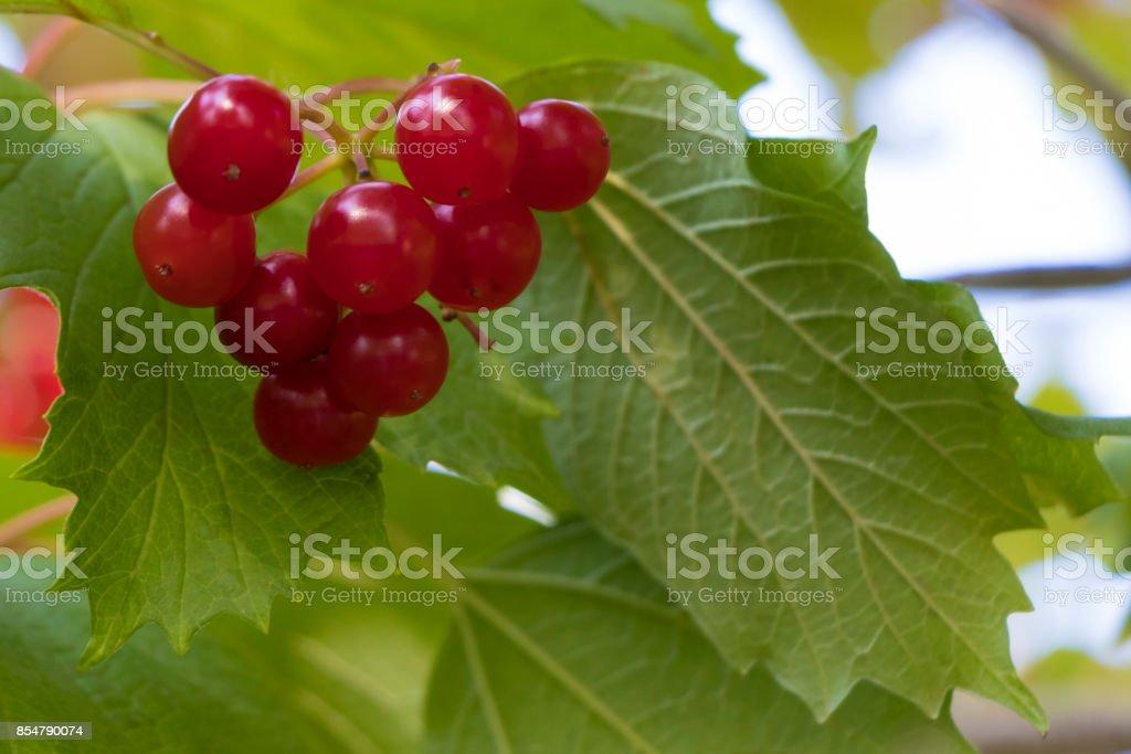 Bunch of red viburnum stock photo