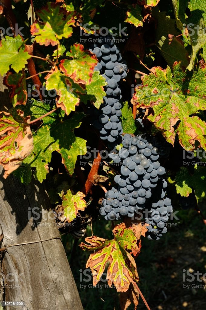 bunch of red wine grapes in Chianti, Tuscany, Italy. stock photo