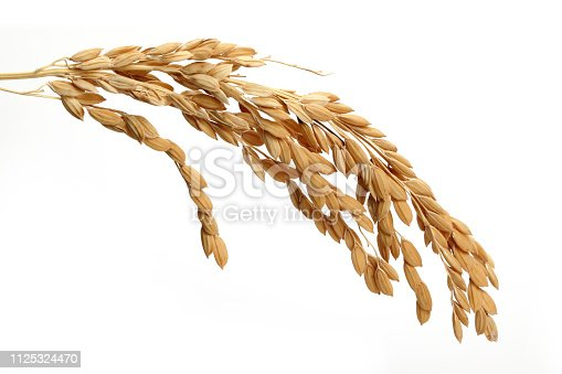 A bunch of rice ears isolated on white background