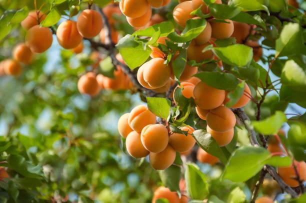 ein haufen reifer aprikosen, die an einem baum im obstgarten hängen. aprikosenobstbaum mit früchten und blättern. ukraine. - aprikose stock-fotos und bilder