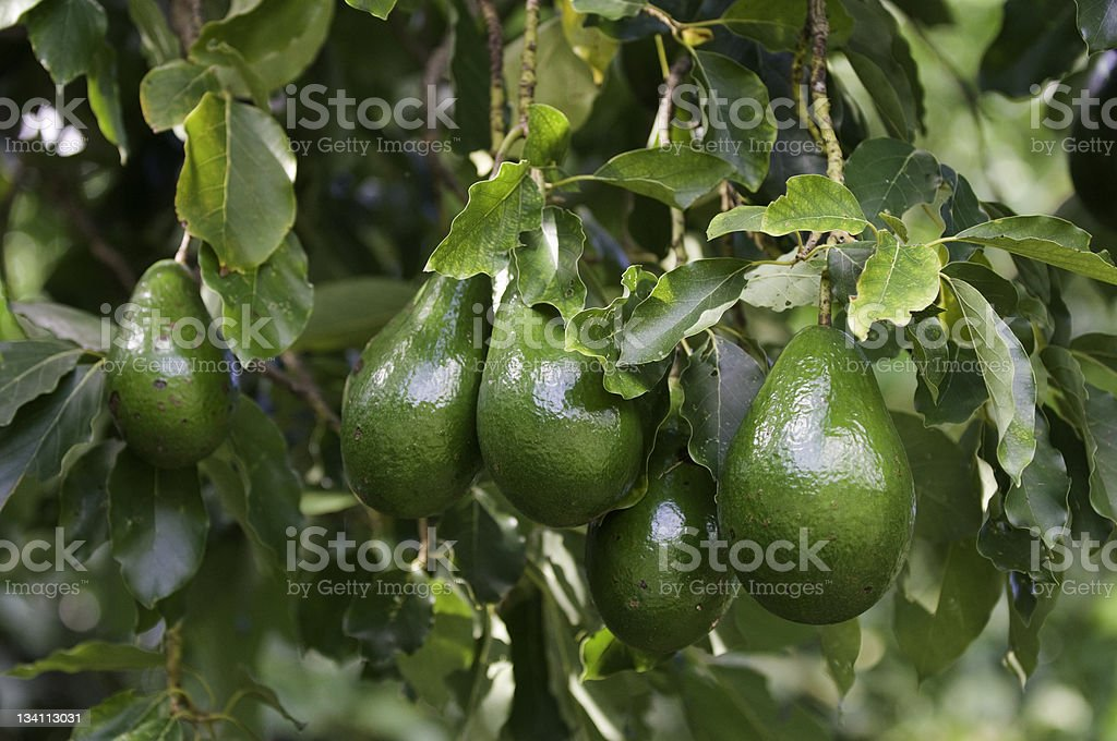 Bunch of ripe avocados stock photo