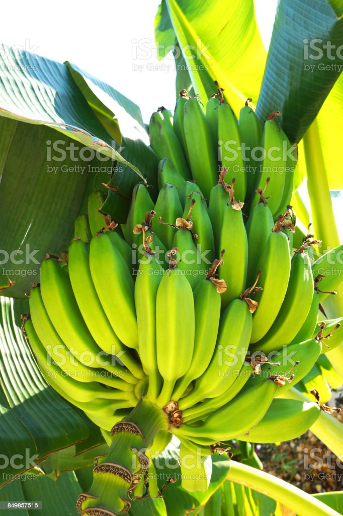 Bunch of ripe bananas on tree stock photo