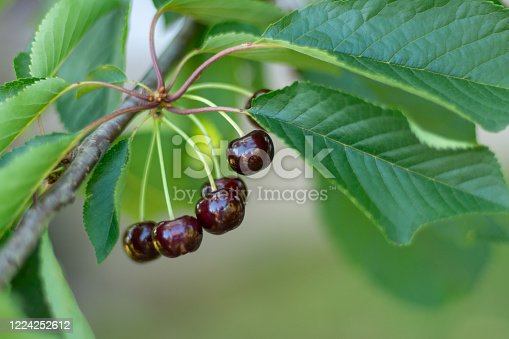 A bunch of ripe sweet cherries hanging on a tree