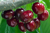 Bunch of ripe dark red cherries on a branch. Selective focus.