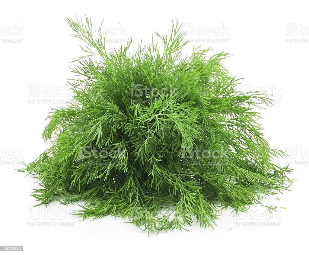 Bunch of Ripe Dill Isolated on White royalty-free stock photo