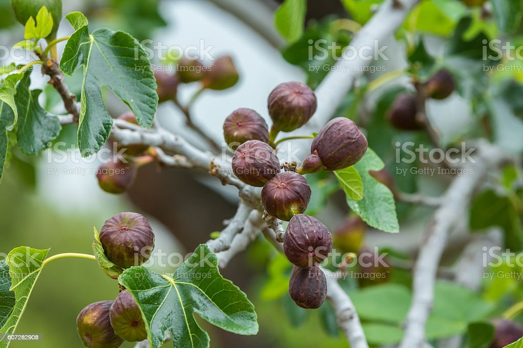 bunch of ripe figs on the tree ready for the table stock photo