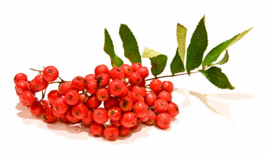 bunch of ripe orange ashberry (isolated)