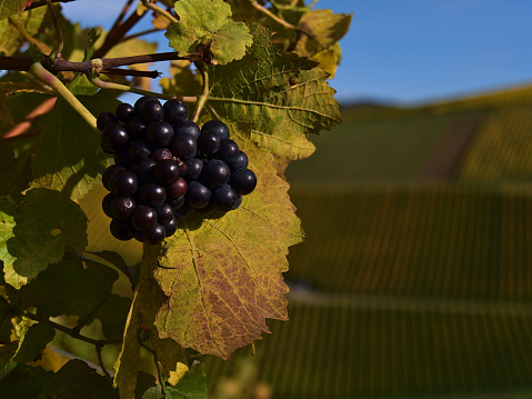 Bunch of ripe purple colored grapes in a vineyard with discolored green and yellow leaves in autumn season near Durbach, Germany.