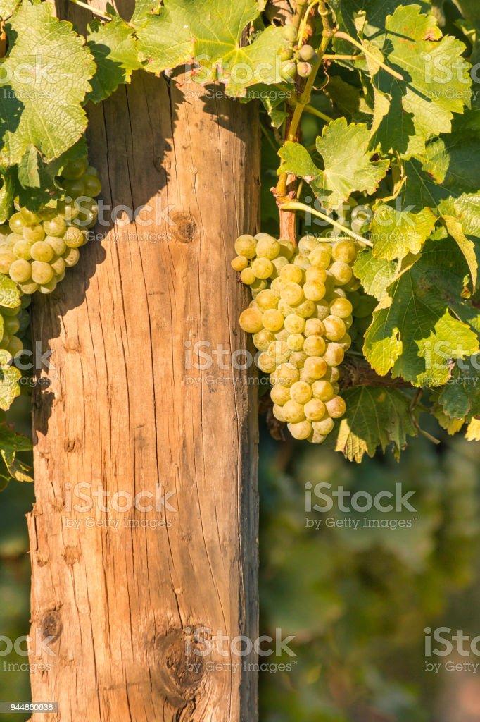bunch of ripe Sauvignon Blanc grapes growing in vineyard stock photo