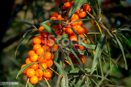 istock bunch of ripe sea buckthorn on a branch close-up 1171178385