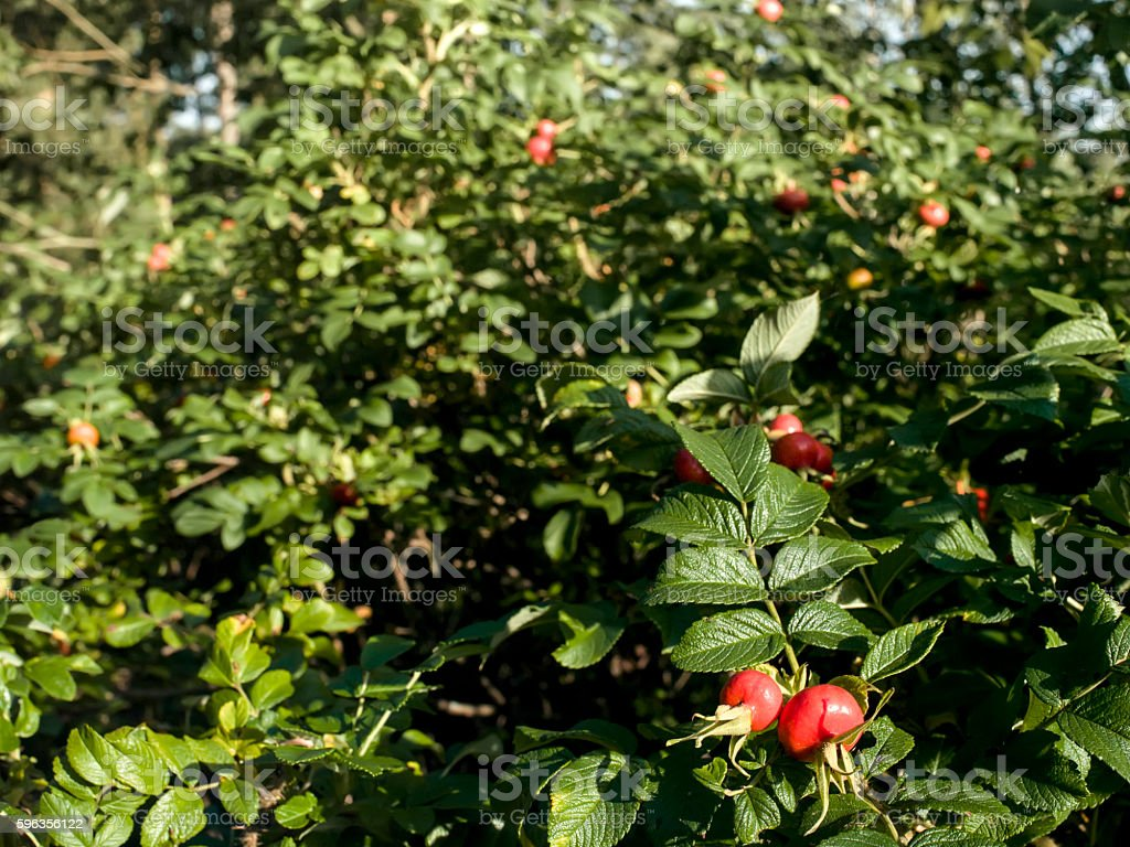 Bunch Of Rose Hips royalty-free stock photo