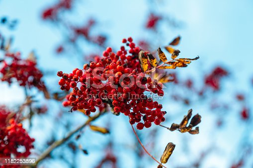 948743278istockphoto A bunch of rowan berries on a branch with dry leaves 1182253896