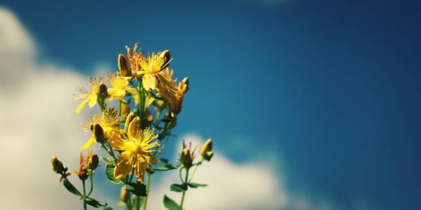 Blumenstrauß Saint John's Würze. Russischen Norden. – Foto