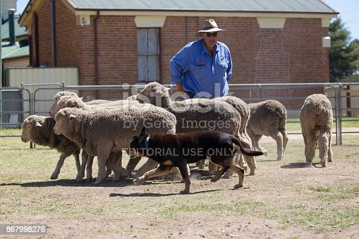 Boorowa, NSW, Australia – October 1 2017: At the 2017 Boorowa Irish Woolfest a couple of working dogs give a demonstration on how to round up sheep. Enclosed in a small pen, their master handles them as they keep the sheep together in a bunch and move them around the pen. October 1 2017
