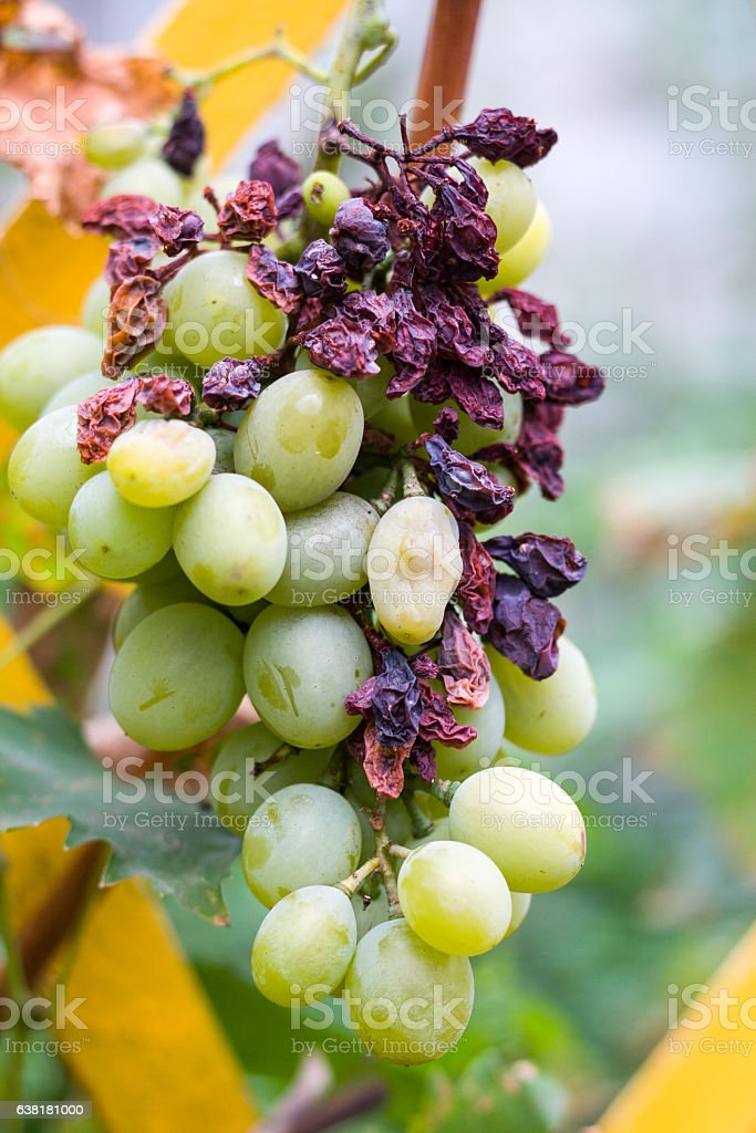 bunch of spoiled green grapes close up stock photo