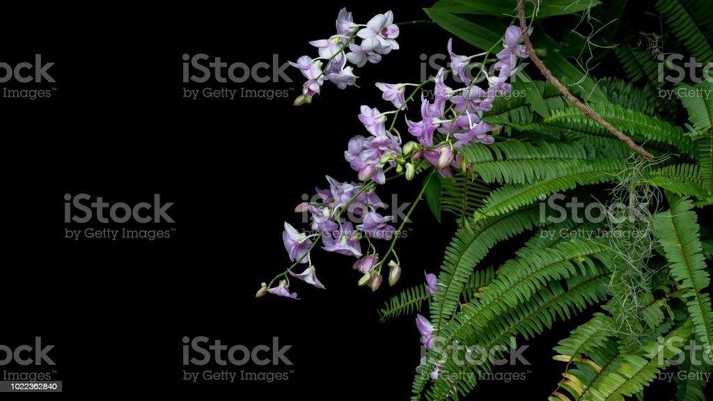Bunch Of Tropical Rainforest Purple Orchid Flowers With Green Leaves Fishbone Fern Foliage Plant Bush And Epiphyte Spanish Moss Growing On Tree Twig On Black Background Stock Photo Download Image Now
