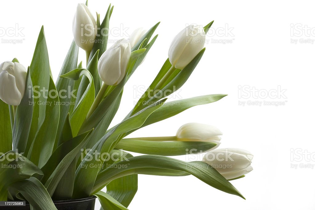 Bunch of Tulips royalty-free stock photo