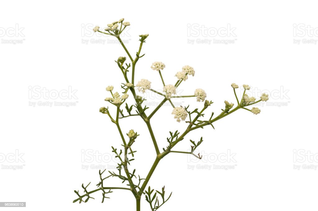 Bunch of twigs with white small flowers isolated on white background. - Royalty-free Beauty Stock Photo