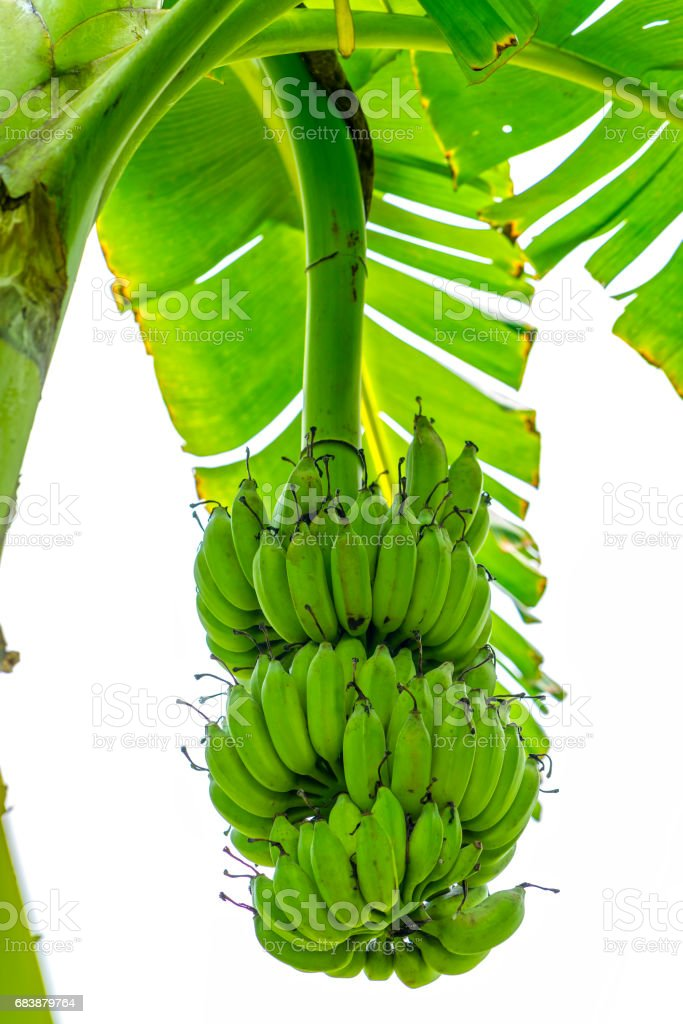 Bunch of unripe bananas hanging from a branch of a tree on a farm stock photo